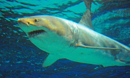 Great-White-Shark-at-Churaumi